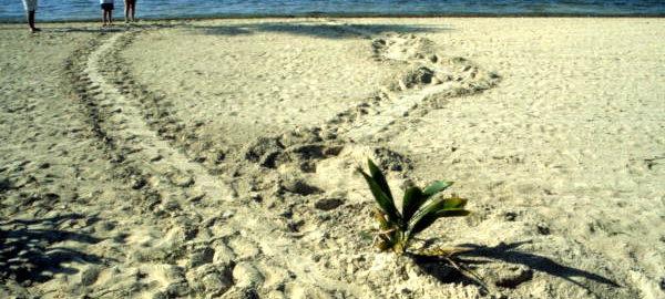 Tortues sur la plage